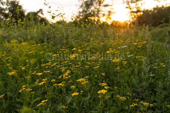 Yellow flowers at sunset