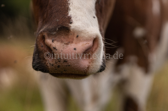 Cow nose with flies