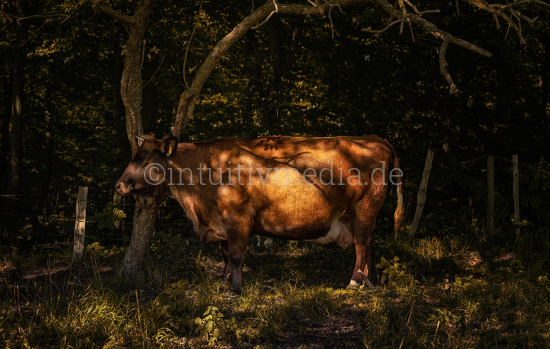 Cow standing in the woods