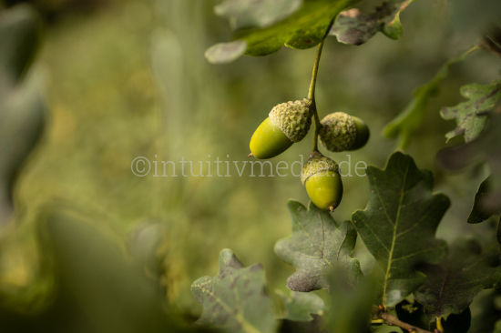 Oak Acorn Closeup