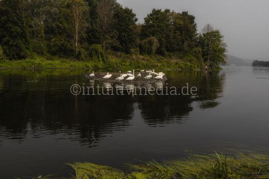 Swans at river maas