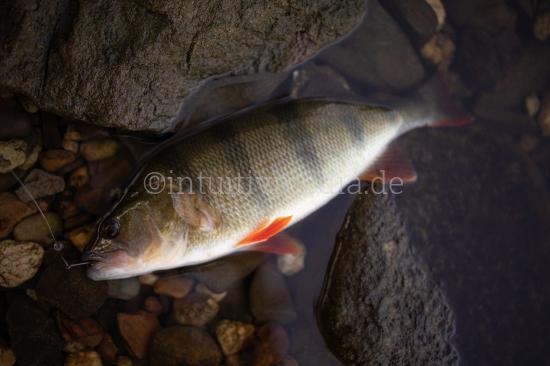 Perch fish closeup