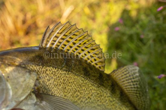walleye fish river fishing