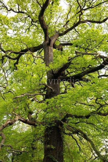 Alte Eiche neues Grün