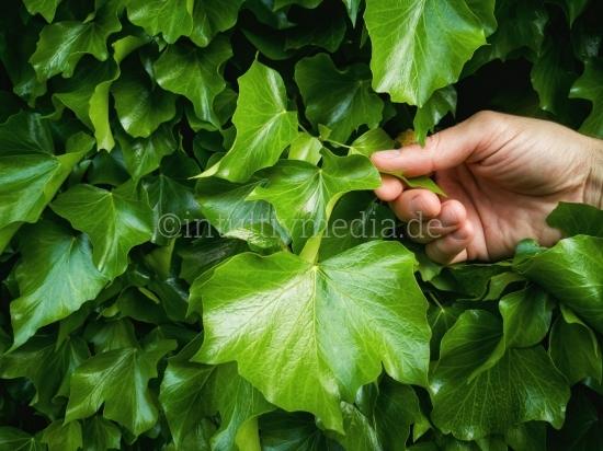 Hand mit grünen Blättern