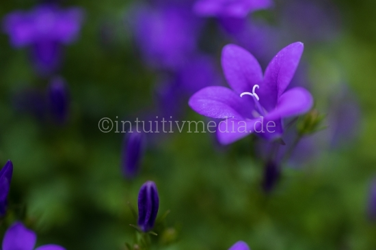 Lilla Blumen closeup