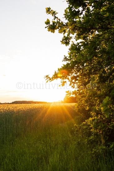 Sonne über dem Kornfeld