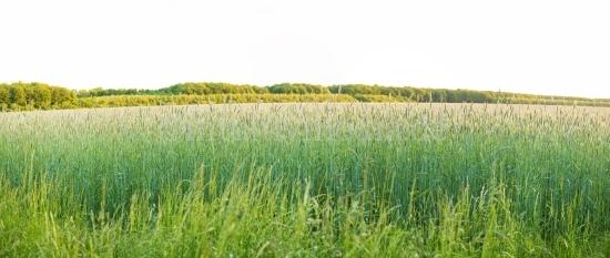 Schönes Kornfeld im Frühling