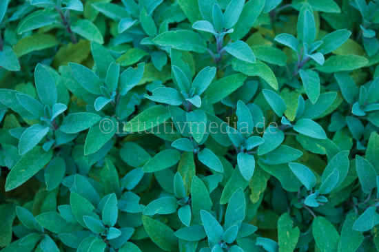 Salbei Blätter