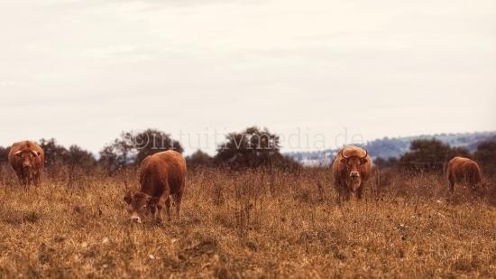 Kuhherde auf dem Feld