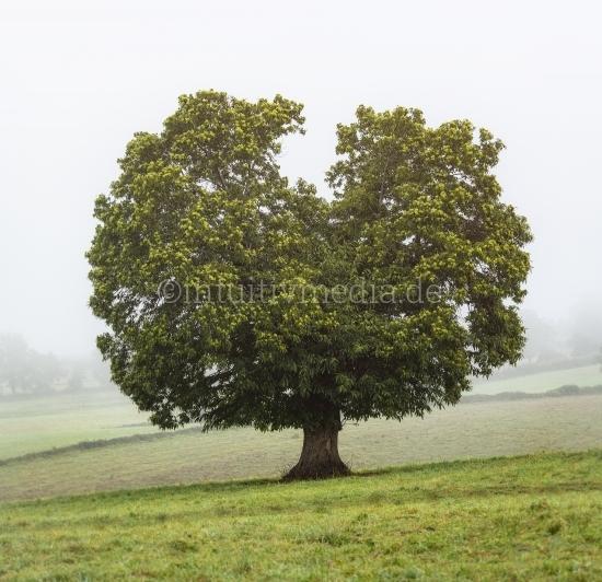 Alter Kastanien Baum