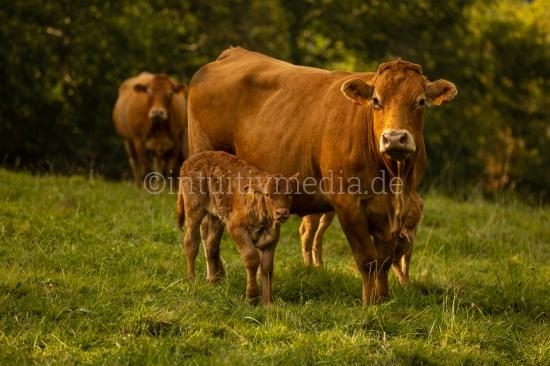 Kühe auf der Herde