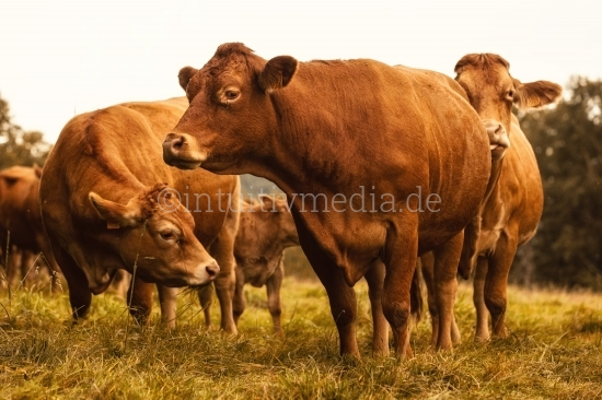 Kühe und Kälber Aveyron