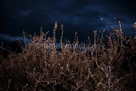 Busch in der Heide am Abend