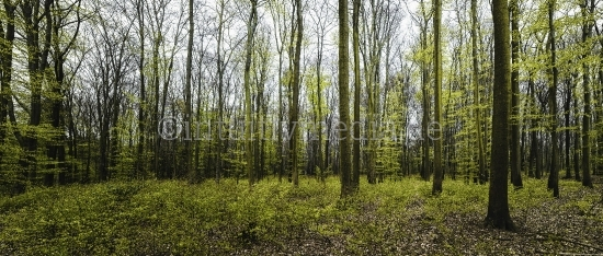 Frischer Wald im Frühling Panorama
