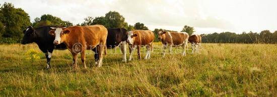 Kühe auf der Weide Panorama