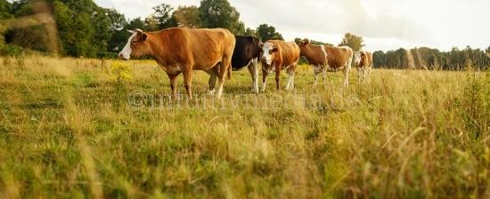 Kühe moodbilder Panorama