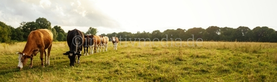 Kühe auf dem Feld Panorama