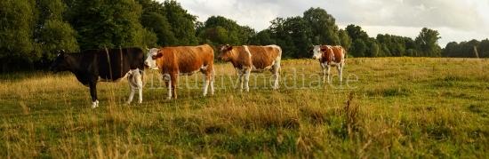 Kühe in der Schlange Panorama