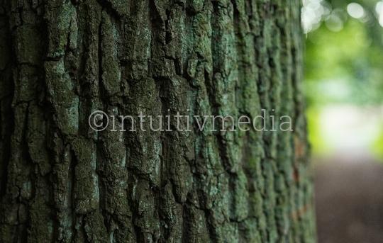 Eichenrinde Struktur: Baumrinde
