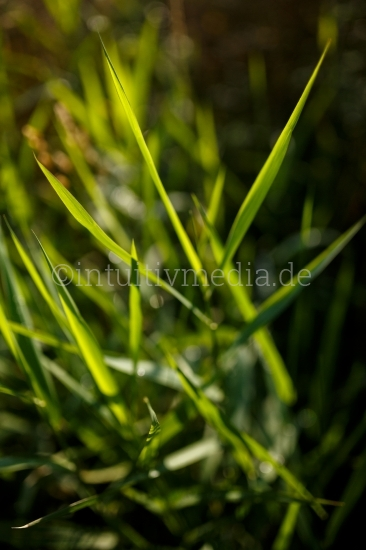 Scharfe Gräser