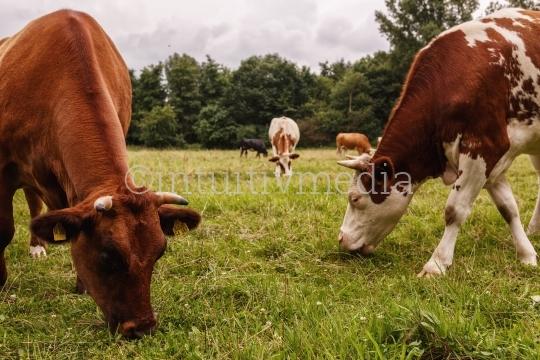 3 Kühe auf der Weide