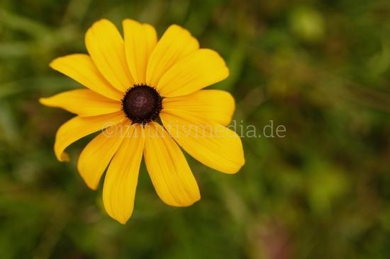 Gelbe Blume Macro