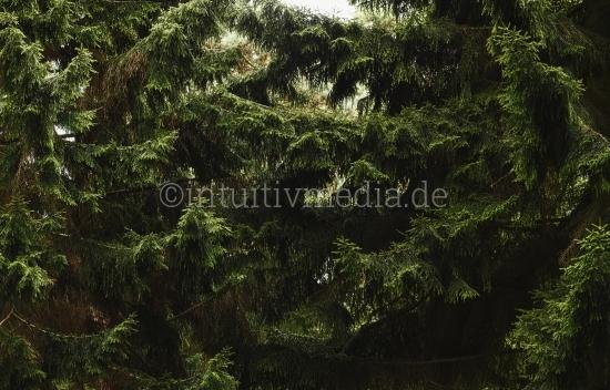 Tannezweige: Wald & Bäume