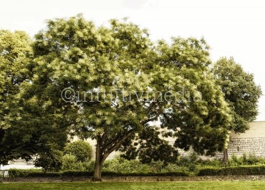 Blühender Baum mit Mauer