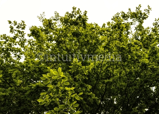Baumkrone mit frischem Laub