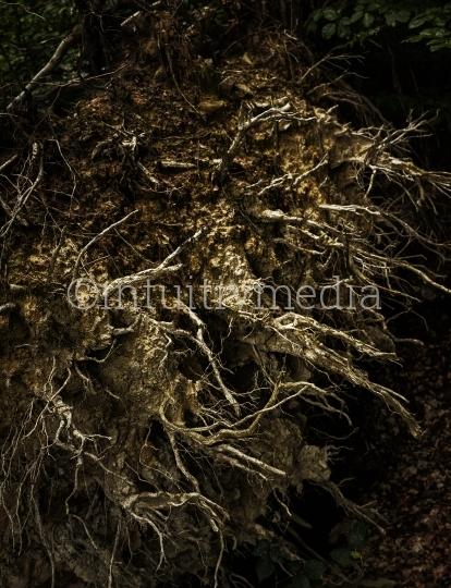 Wurzelwerg - umgestürzter Baum