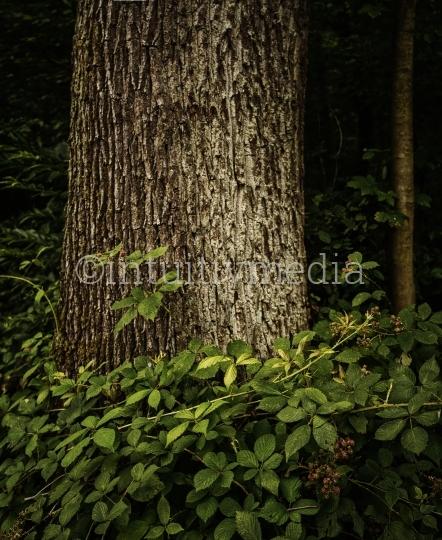 Baumstamm einer Eiche