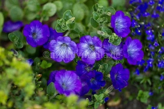 Blaue Blüten