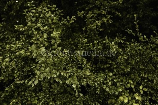 Grüne Hecke nach dem Regen
