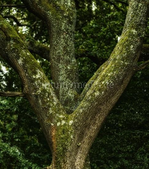 Eichen Baumtämme