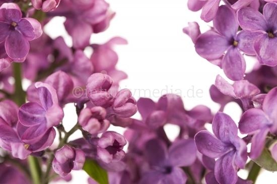 Flieder Blüten Makro