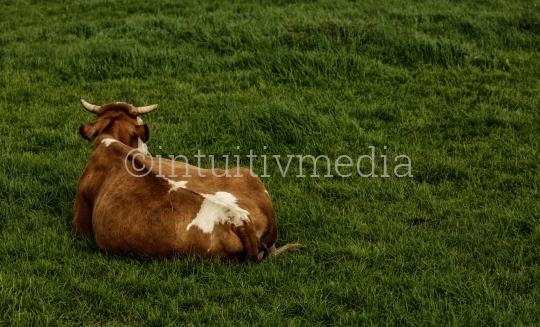 Kuh sitzt auf  Wiese