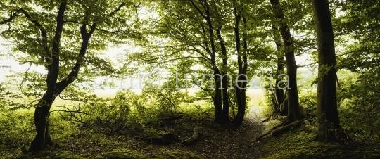 Wald mit Gegenlicht - Panorama Bild