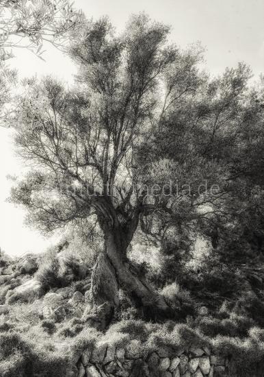 Alter Olivenbaum kunstlerisch