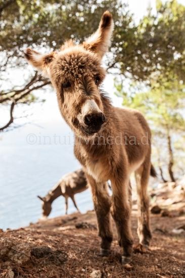 Junger Esel auf Mallorca