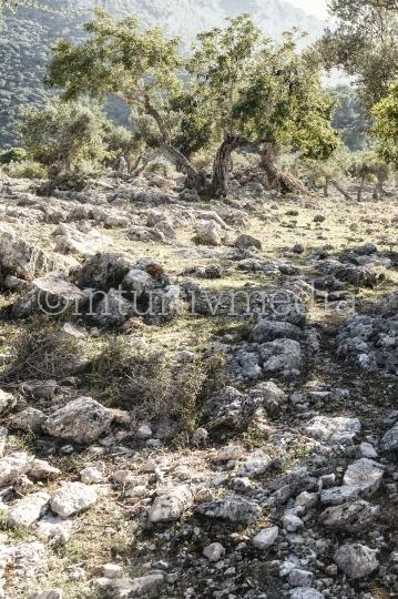 Olivenhain mit Steinen