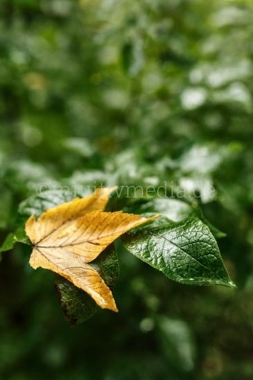 Herbstbeginn - erstes Blatt