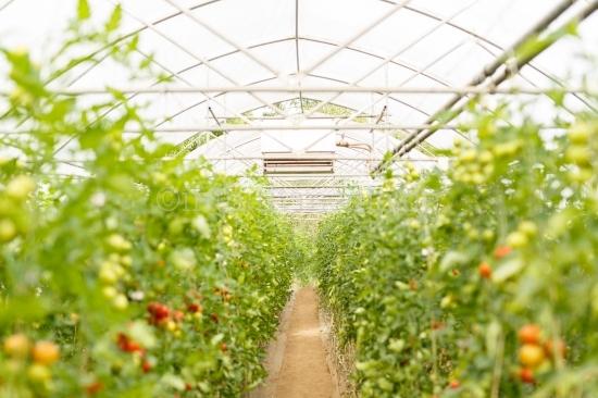 Gewächshaus mit Tomaten