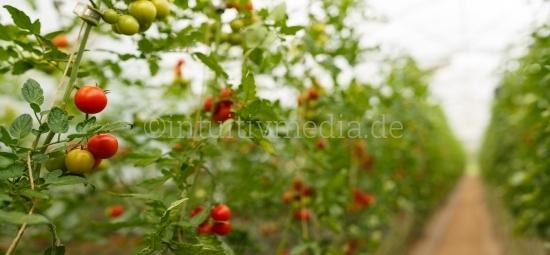 Tomaten Pflanzen Panorama