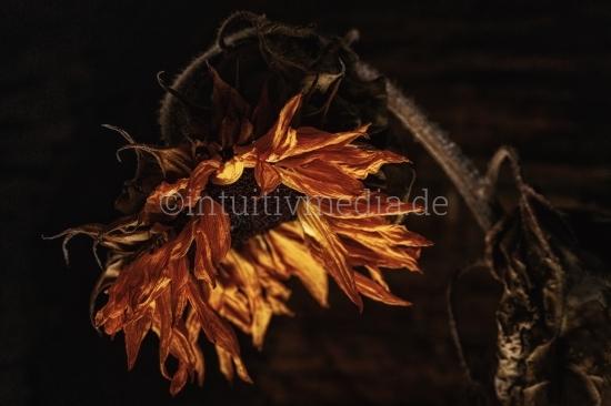 Alte Sonnenblume