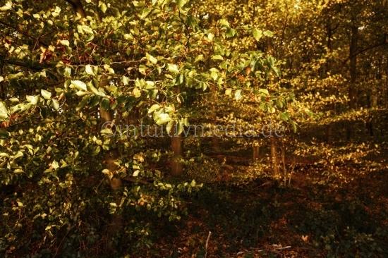 Goldenes Laub im Herbst