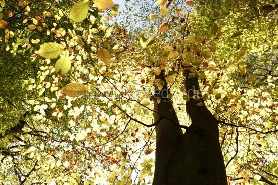 Schwarze Baumstämme in Herbst