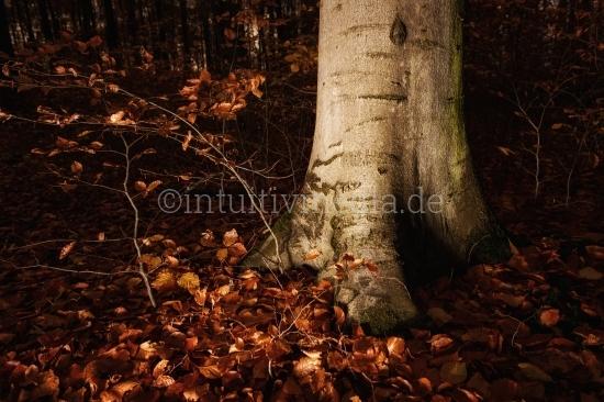 Baustamm einer Buche im Wald