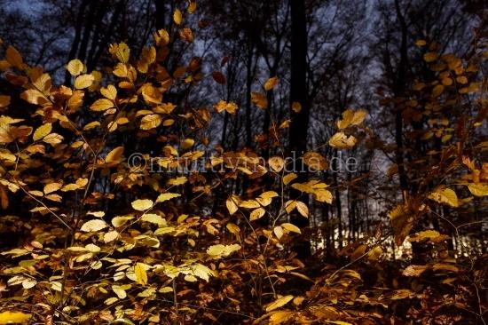 Wald am Abend - Buchen
