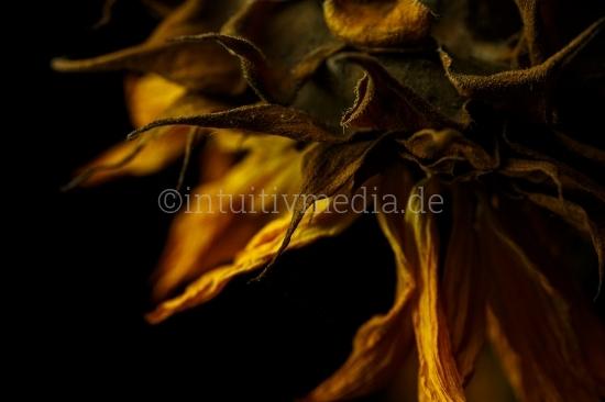 Sonnenblume verwelkt
